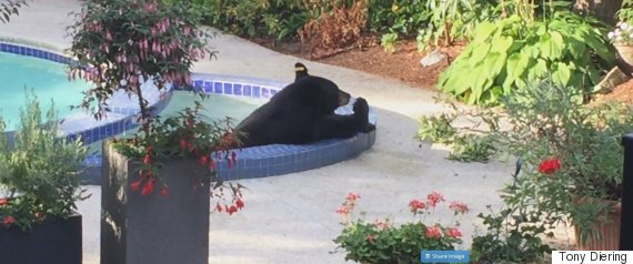 bear in pool