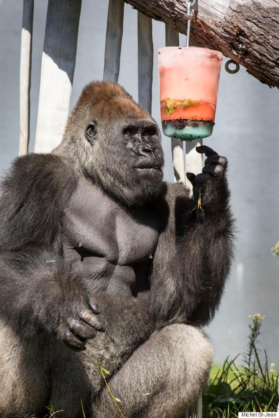 gorilla popsicle