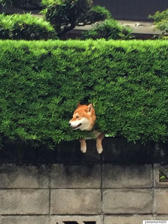 shiba inu stuck in bush