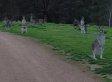 Terrified Cyclist Journeys Through 'Zombie Kangaroo Apocalypse'
