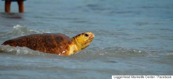 These Turtles Being Released Into The Wild Is The Best Thing You'll See Today