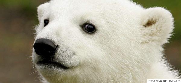 Scientists Solve Tragic Mystery Behind The Death Of Knut The Polar Bear