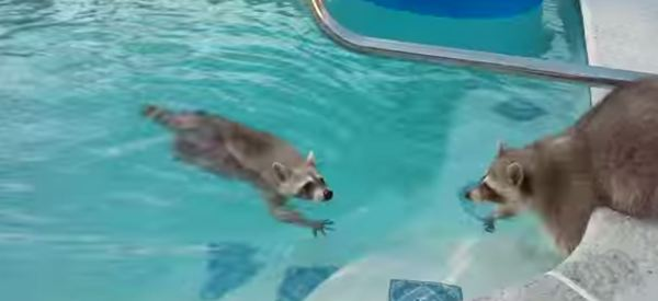Adorable Raccoon Goes Swimming, Brother Freaks Out About It