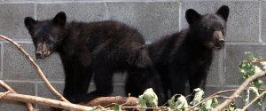 BEAR CUBS BRYCE CASAVANT