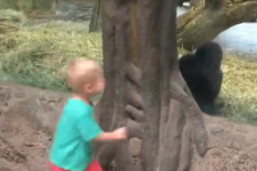 Child and gorilla play | Pic: Youtube