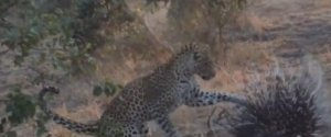 PORCUPINE ESCAPES LEOPARD