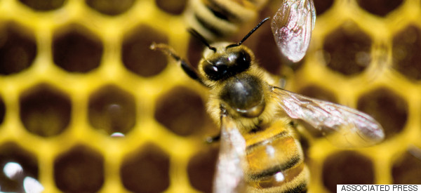 Help Safeguard the Future of Britain's Bees