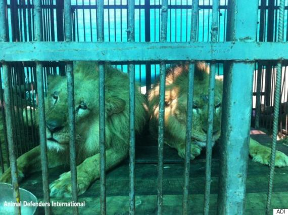 33 Circus Lions Rescued By Animal Defenders International