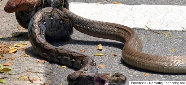 Epic Reptile Battle As Python And King Cobra Brawl In The Street