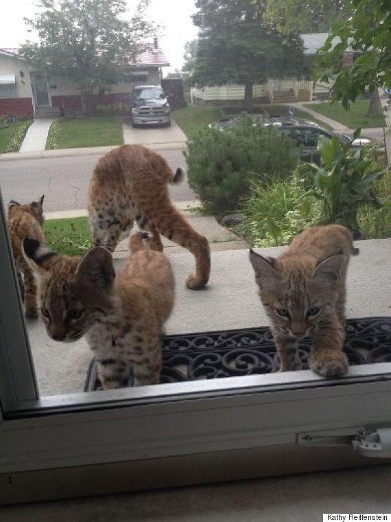 bobcats calgary