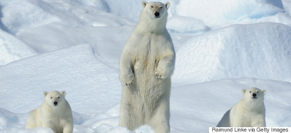Hungry Polar Bears Trap Russian Researchers Inside Arctic Station