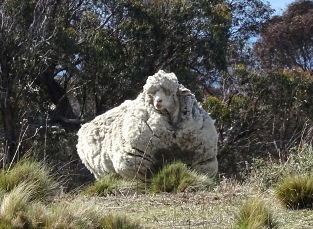 femme baisee par un mouton alphitecom