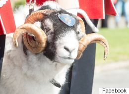 Sheep Promoted To Lance Corporal For Good Baa-Haviour