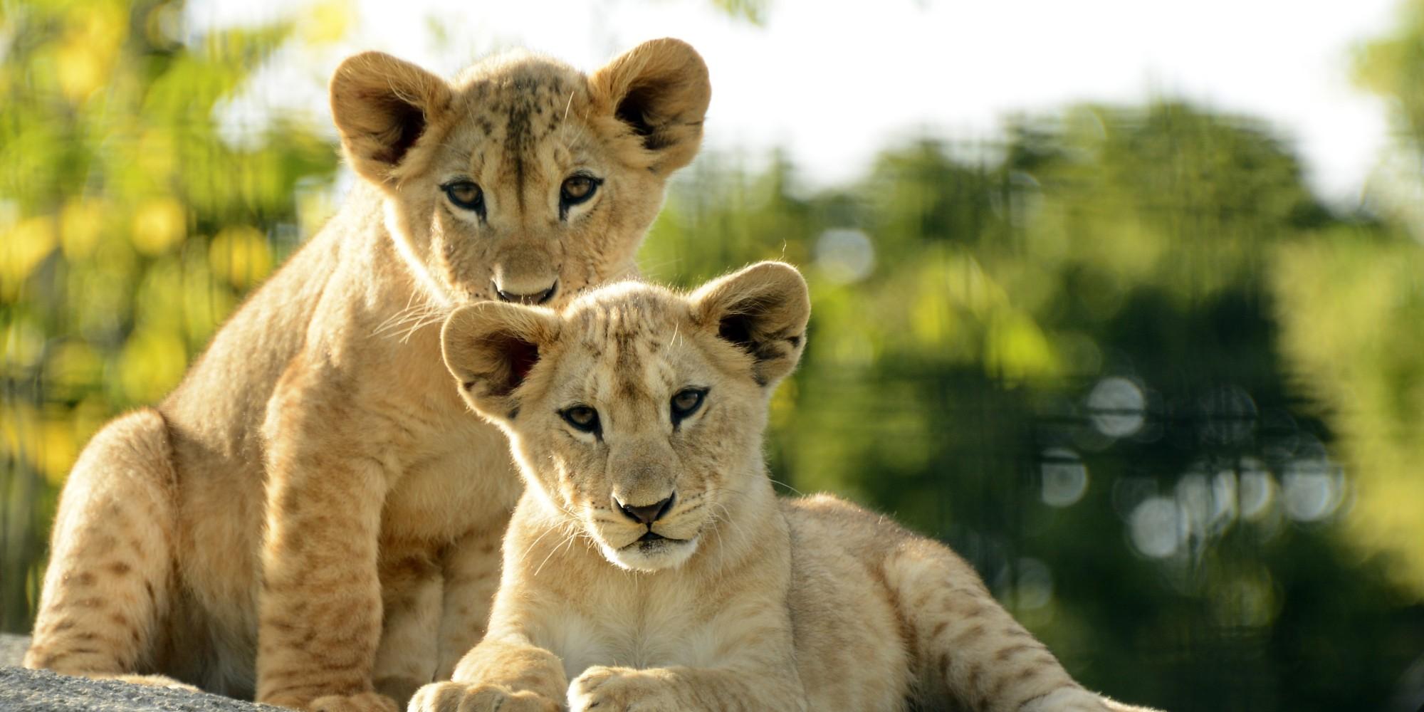 le nombre de lions limit par une tonnante r gulation naturelle des proies r v le une tude de. Black Bedroom Furniture Sets. Home Design Ideas