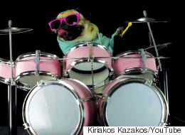 Rockstar Pug Drums To Metallica's 'Enter Sandman'