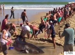 Heroic Beachgoers Frantically Attempt To Rescue 2,000lbs Great White Shark