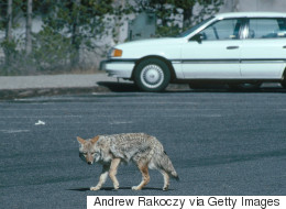 Coyotes, Not Humans, To Blame In Cat Deaths