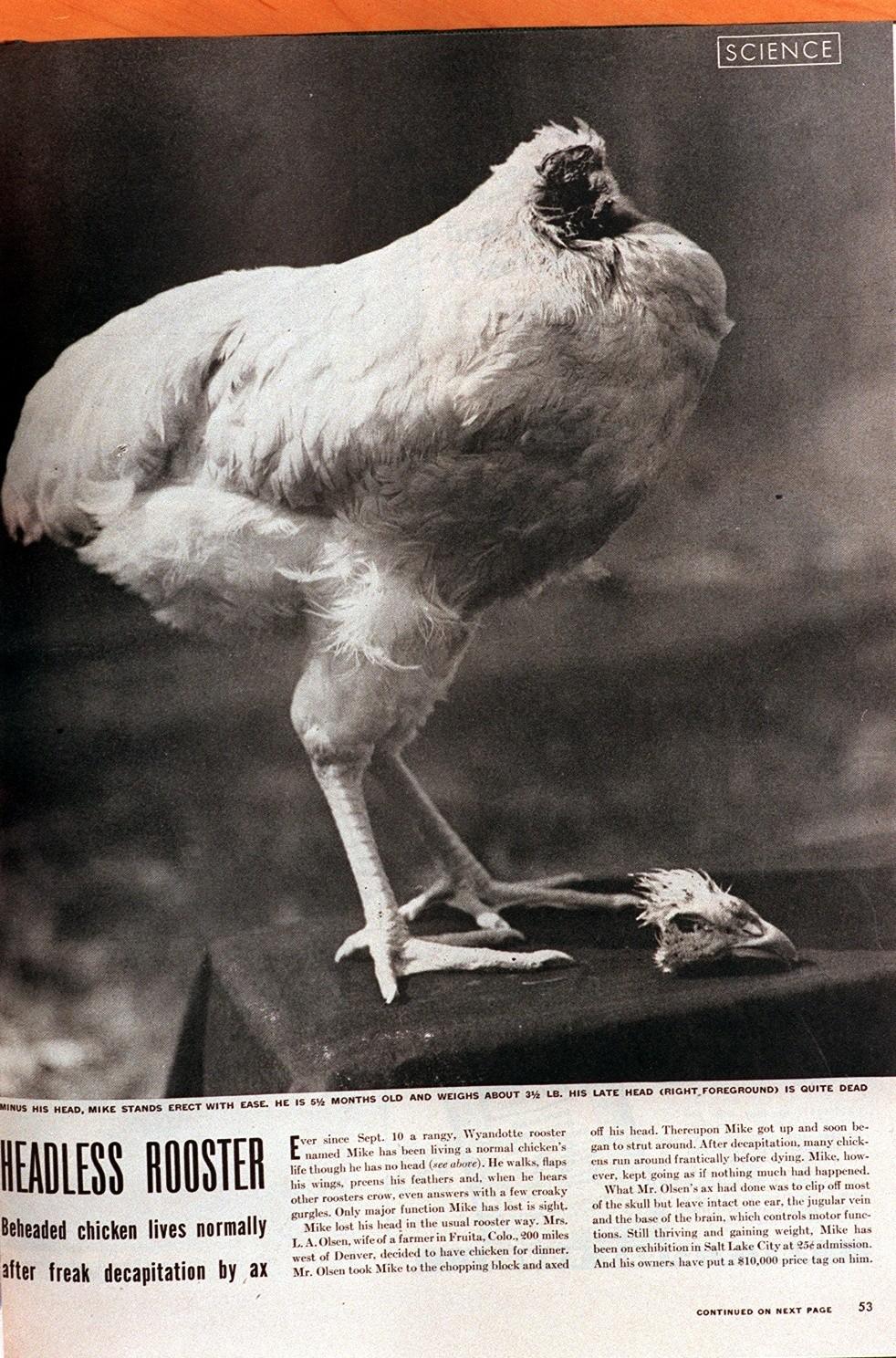 beheaded chicken