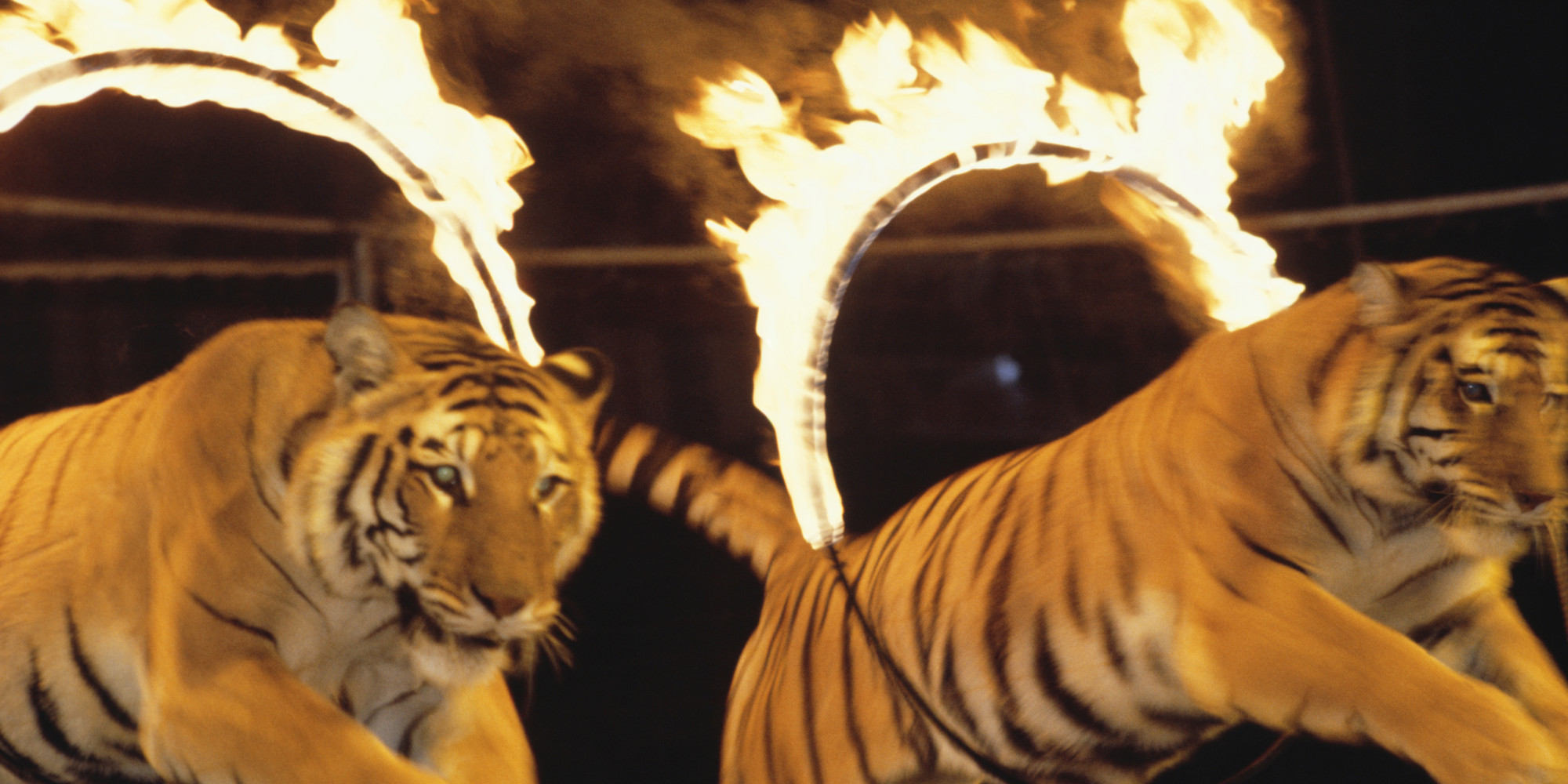 cruelty to animals in circuses essay writer