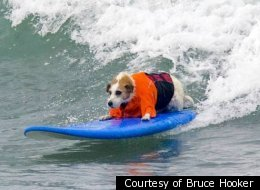 Wave-Jumping Jack Russell Terrier 'Buddy' First Inductee Into Surf Dog Hall Of Fame