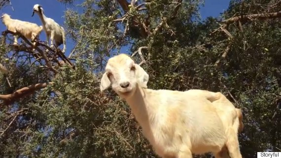 goats grow on trees