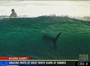 San Diego Shark Photo