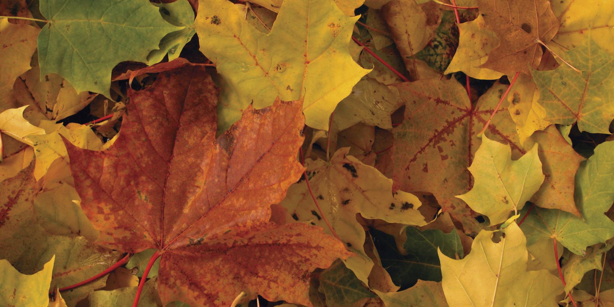 Pourquoi les feuilles d 39 automne sont rouges oranges ou - Image feuille automne ...