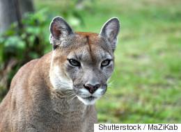 Cougar Shot, Killed In Edmonton Backyard