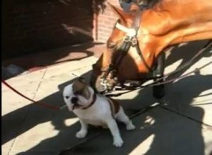 Bulldog Licked By Nypd Horse