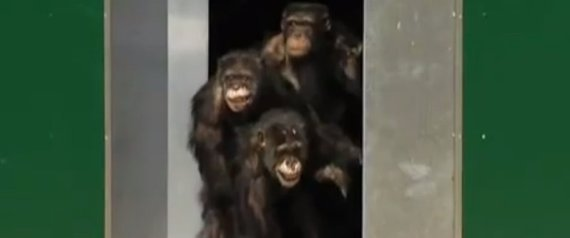 Lab Chimps