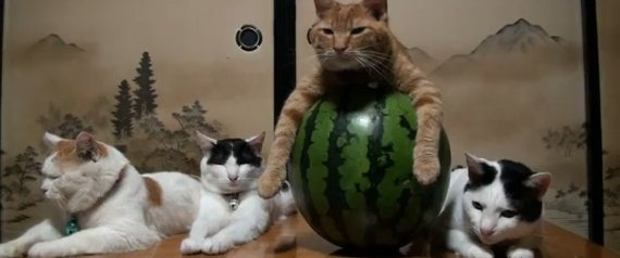 CAT SITTING ON WATERMELON