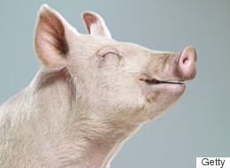 15 Happy Pigs Completely Untainted By #PigGate