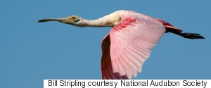 BILL STRIPLING COURTESY NATIONAL AUDUBON SOCIETY