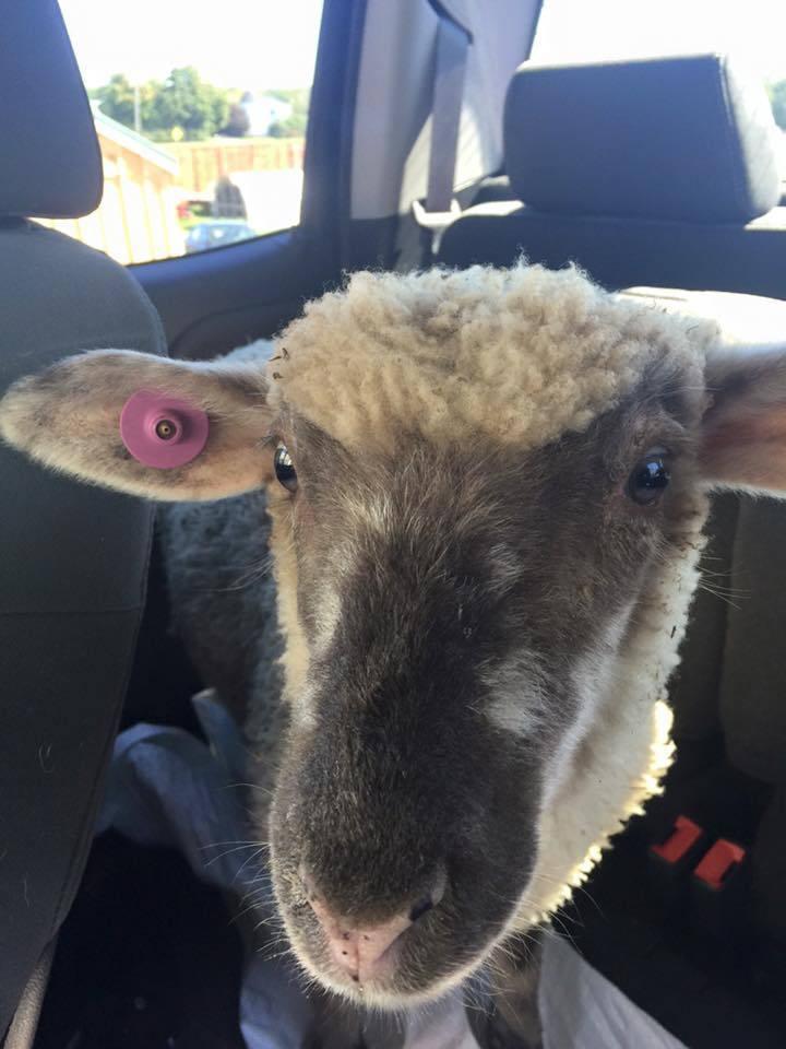 linus the lamb