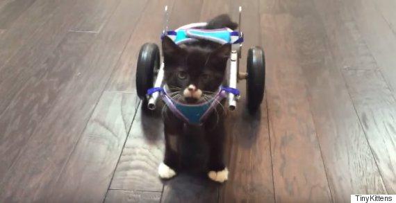 cassidy 3d wheelchair kitten