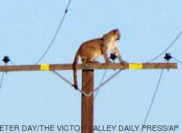 Un puma asustado se subió a un poste de electricidad