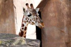 A giraffe I Pic: Getty