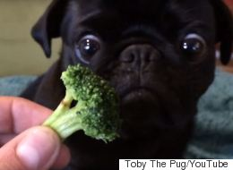 This Cute Pug Absolutely Loves Broccoli
