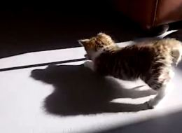 Cats Vs. Their Own Shadows
