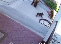 Bulldog francés se enfrenta valientemente a dos osos