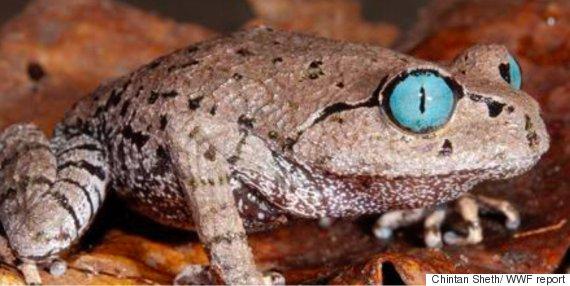 blue eyed frog