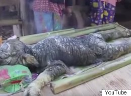 Thai Villagers Hope Deformed 'Crocodile Buffalo' Will Bring Them Luck