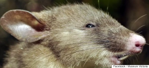 Scientists Discover New Rat Species With 'Curiously Long' Pubic Hair