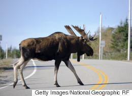 Cops: Driver Probably Ran Into Moose While Looking At Driver Who Hit Moose