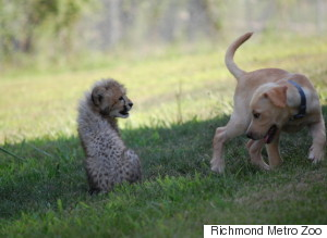 Baby Cheetah And Puppy Are BFFs