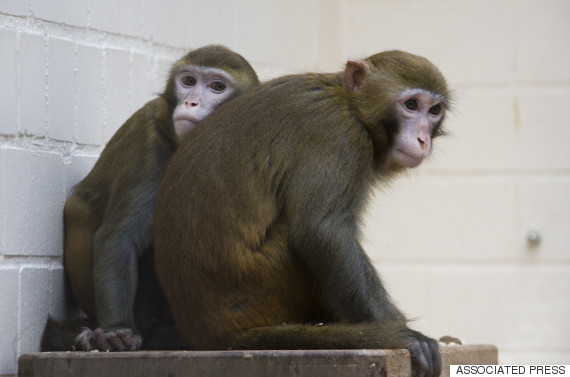 macaques research