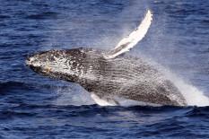 Zwei Wale kommen bis auf wenige Meter an den Stand-up-Paddler heran