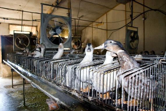 foie gras 1