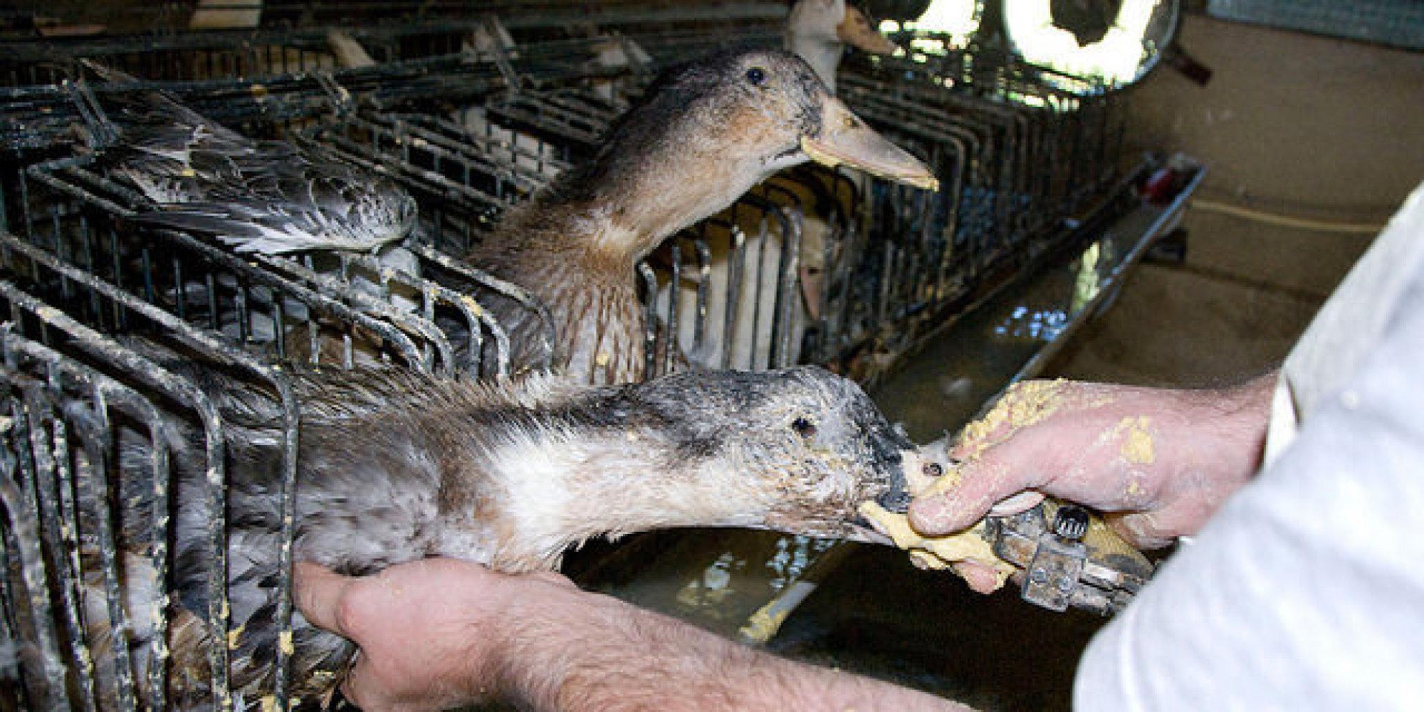 Foie gras anatre e oche maltrattate e ingozzate con un tubo per ingrassare in pochi giorni la - Denerver un foie gras ...