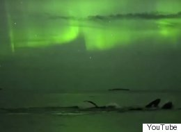 Beautiful Video Footage Of Whales Swimming Under The Northern Lights